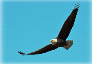 Eagle flying free