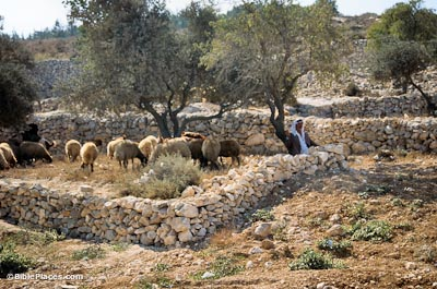 A shepherd tending his sheep near Bethlehem (used with permission)